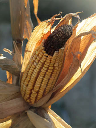 starchy food: corn on the cob with ripe yellow dried seeds ready for collection