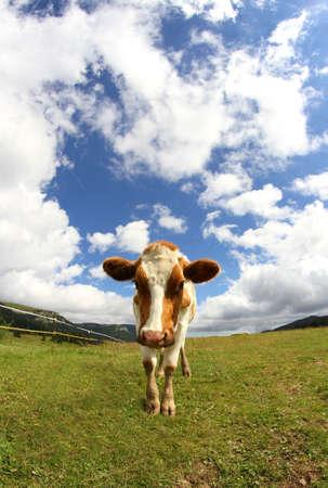 monta�as caricatura: gran vaca de monta�a fotografiado con una lente de ojo de pez Foto de archivo