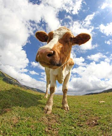 montañas caricatura: mountain cow  photographed with a fisheye lens Foto de archivo