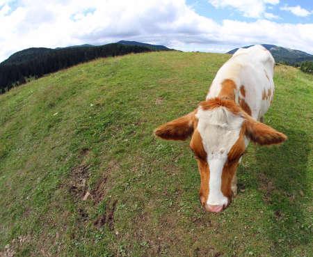 monta�as caricatura: vaca fotografiado con una lente de ojo de pez en la monta�a Foto de archivo