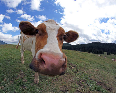 misshapen: cow photographed with a fisheye lens in mountain Stock Photo