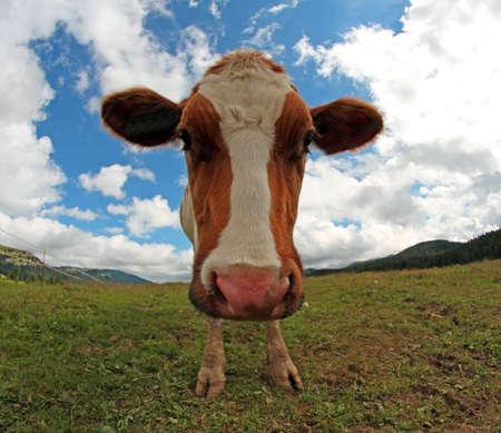 montañas caricatura: vaca fotografiado con una lente de ojo de pez en la montaña Foto de archivo