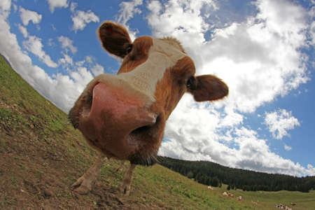 montañas caricatura: vaca fotografiado con una lente de ojo de pez Foto de archivo