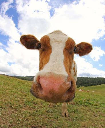 fisheye: grazing cow photographed with a fisheye lens on the mountain