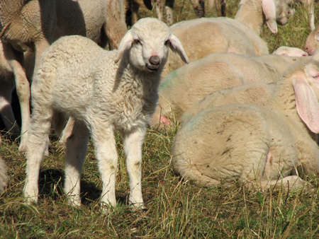 irish easter: Young lamb in the midst of the large flock of sheep and goats