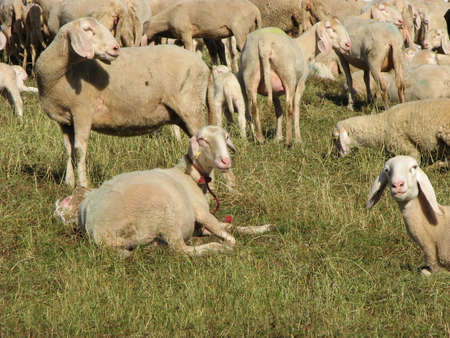 presepio: large flock of sheep and goats grazing in mountain meadow
