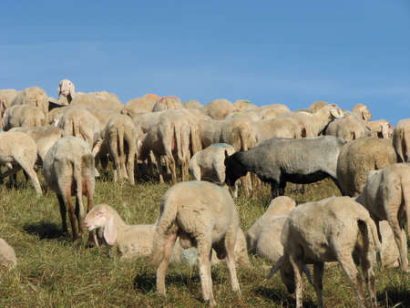 large flock of sheep and goats grazing in mountain meadow photo