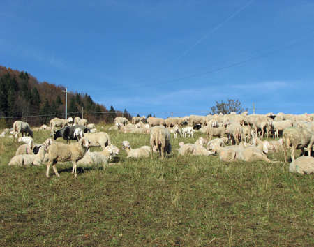 large flock of sheep and goats grazing in mountain meadow