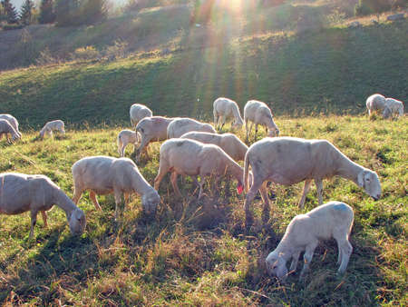 presepio: immense flock of sheep and goats grazing in the mountains