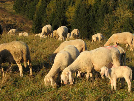 flock of sheep and goats grazing in the mountains photo