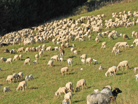 flock of sheep and goats grazing in the mountains