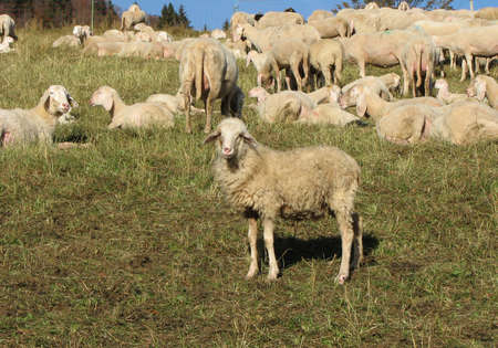 presepio: young sheep lamb along with the other large sheep flock Stock Photo