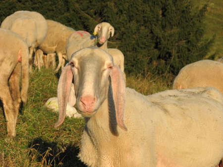 snout of sheep in the middle of the herd grazing in the mountains photo