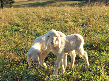 two little lambs with soft, white fur in the Meadow Stock Photo