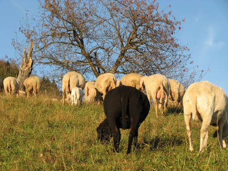 presepe: black sheep in the midst of the flock with many other white  sheep