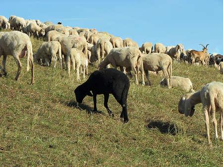 mouton noir: mouton noir dans le milieu du troupeau avec beaucoup d'autres moutons blancs