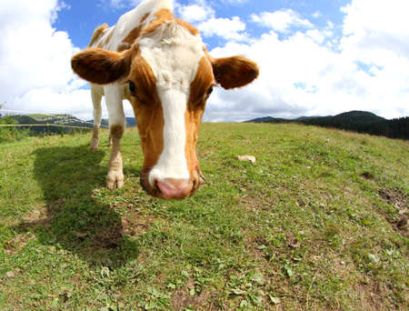 smutty: funny cow shot with fisheye lens in the mountains Stock Photo