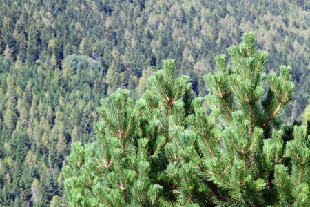mugo: Lush pine in the middle of the forest in the mountains Stock Photo