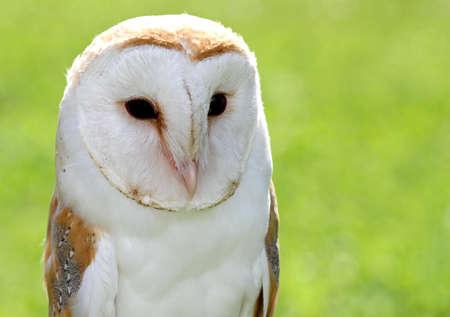 black eyes: Barn Owl con grandi occhi neri