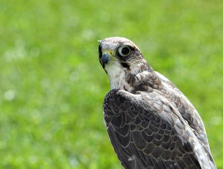 black eyes: grande Falcon Peregrine, con gli occhi neri con sfondo verde