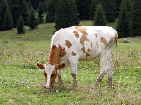 meadow  grass: vacas a los pastos de pastoreo alpino pradera de c�sped