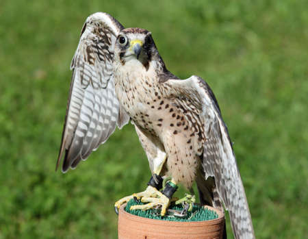 falco peregrinus: Peregrine Falcon with black eyes with the green background