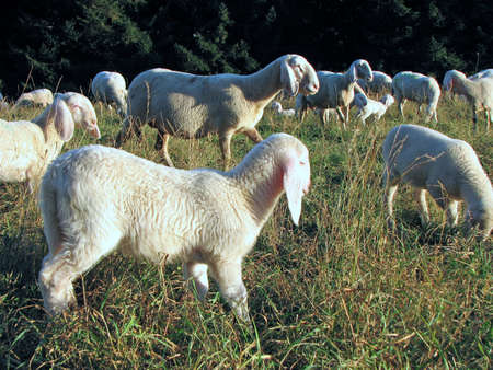 presepio: Young Lamb of a flock of sheep on a mountain meadow
