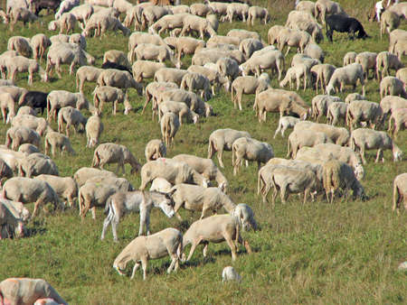 many sheep in the flock of sheep on a mountain meadow Stock Photo