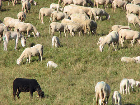 black sheep with other sheep grazing on a lawn Stock Photo