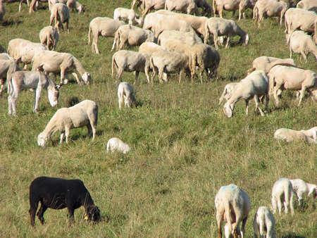 mouton noir: mouton noir avec d'autres p�turage des moutons sur une pelouse