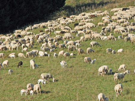 thousands of sheep grazing in the mountain on a lawn photo