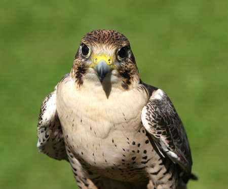 peregrine: young Peregrine Falcon ready for flight