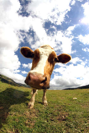 fish eye lens: Mountain cow photographed with fish eye lens  with many white clouds Stock Photo