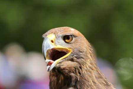lengua afuera: �guila con el pico abierto y la lengua fuera Foto de archivo