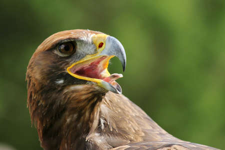 tongue out: Great Eagle with open beak and tongue out
