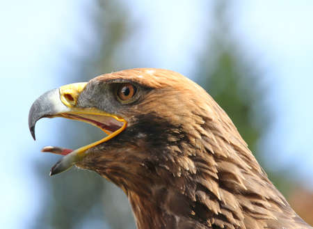tongue out: angry Eagle with open beak and tongue out