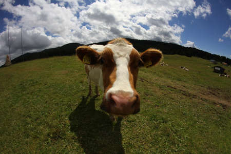 fish eye lens: Mountain cow photographed with fish eye lens and blue sky Stock Photo
