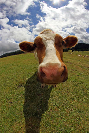 fish eye lens: Mountain cow photographed with fish eye lens and blue sky with many white clouds Stock Photo