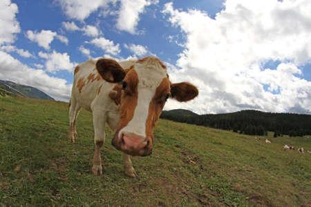 montañas caricatura: Vaca Montaña fotografiado con lente ojo de pez y cielo azul con nubes blancas