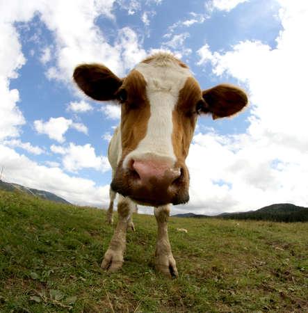 montañas caricatura: vaca fotografiado con lente ojo de pez y cielo azul con muchas nubes blancas