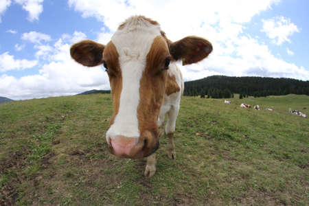 fish eye lens: young cow photographed with fish eye lens and blue sky with many white clouds Stock Photo
