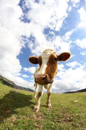 montañas caricatura: Gran tiro pastoreo vaca con lente ojo de pez y el cielo con nubes