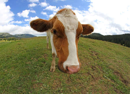 nosey: Great cow grazing shot with fisheye lens and sky with clouds