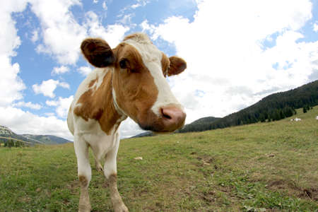 nosey: cow grazing shot with fisheye lens and blue sky with clouds Stock Photo