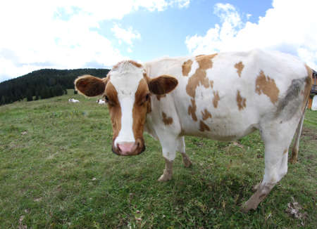 nosey: Nice cow grazing in the mountains photographed with fisheye lens and sky with clouds Stock Photo