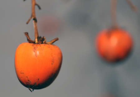 diospyros: orange Diospyros kaki hanging on the branch of the tree in winter