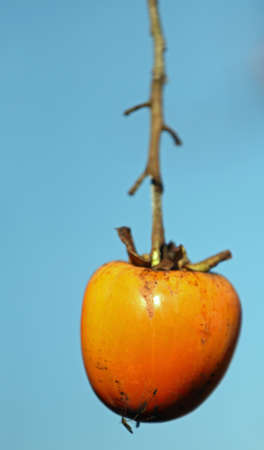 diospyros: isolated orange Diospyros kaki hanging on the branch of the tree in winter