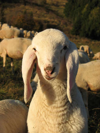 irish easter: young white lamb in a flock in the mountain Stock Photo