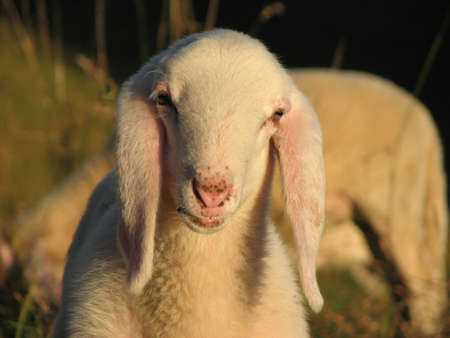 young white lamb  in the mountain photo