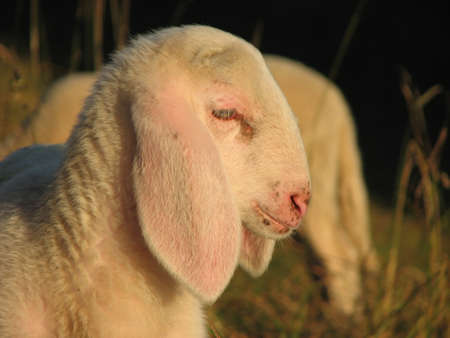 young white lamb in a flock in the mountain photo